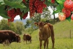 vache + fruit